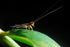 Grasshopper perching on a leaf photo