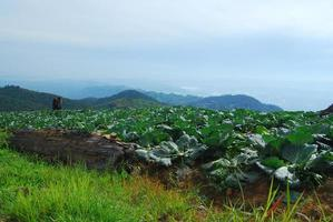 Big Cabbage farm on the mountain and sky photo