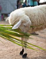 Sheep eating grass in the farm photo