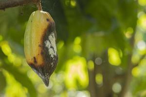 Las bacterias podridas del cacao están destruyendo la fruta del cacao. foto