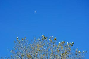A month in the afternoon on a blue sky. The moon is visible during the daytime in autumn over the trees. photo
