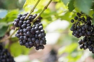 Grape harvest farm photo