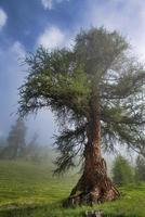 Old larch in mountain on the Swiss alps photo