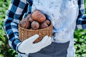 Potatoes in a wicker basket in hands of a woman farmer against background of green foliage photo