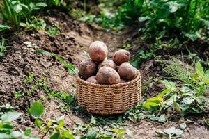 Harvesting potatoes in a wicker basket photo
