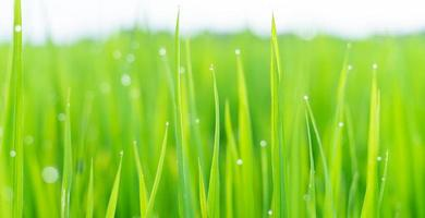 Fresh green grass with dew drops in sunshine on auttum. Abstract blurry background. Nature background. Texture. photo