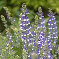 espigas de flores azules y blancas de salvia farinacea foto
