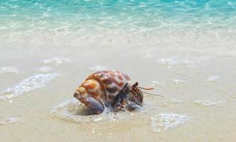 Hermit crab walking on the beach. photo