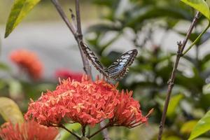 Blue sail butterfly Parthenos sylvia flies off from flower. photo