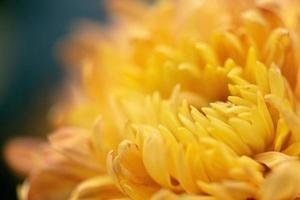 Big yellow chrysanthemums in the park photo
