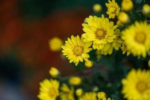 Small yellow wild chrysanthemums in the park photo