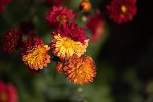 Small red wild chrysanthemums in the park photo