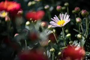 All kinds of chrysanthemums are in the park photo