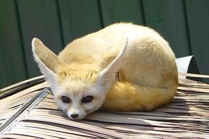 close up of fennec fox photo