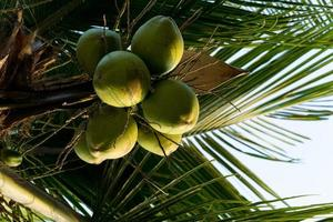 Coconut tree full of coconuts on a sunny day photo