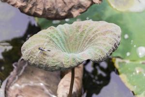 libélula en el lago de estanque tropical con plantas acuáticas, malasia. foto