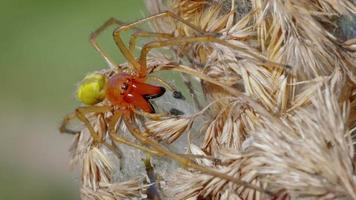 European venomous yellow sac spider Cheiracanthium punctorium video