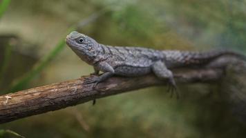 Madagascar swift in terrarium photo