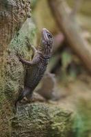 Madagascar swift on rock photo