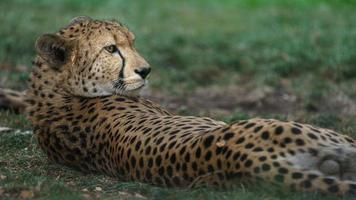 Cheetah resting after lunch photo