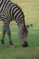 Plains zebra eating grass photo