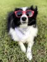 Mini Australian Shepherd Wearing Red Sunglasses photo