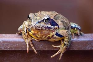 Portrait of a common frog on a bucket edge photo