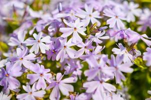 White purple flowers and green leaves beckground photo