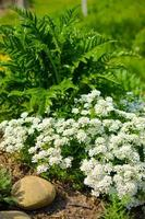 Flowerbed with stones, white flowers and a lot of green plants photo