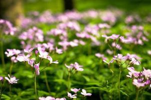 El suelo del bosque a principios de la primavera con flores violetas de Dentaria quinquefolia foto
