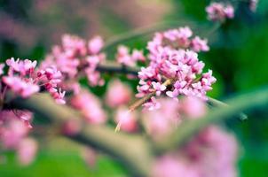 flor de primavera púrpura. cercis canadensis o redbud oriental foto