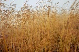 rocío de la mañana en el campo de hierba seca con gota de rocío. foto