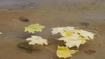 Autumn yellow maple leaves fall into the clear water of the lake in slow motion. video