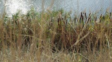 Natural autumn landscape with reed beds on the lake shore and sun glare on the water surface. video