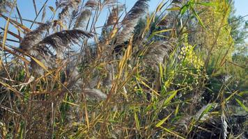 des panicules sèches de roseau se balancent au vent sur un fond flou de ciel bleu et de feuillage d'automne. video