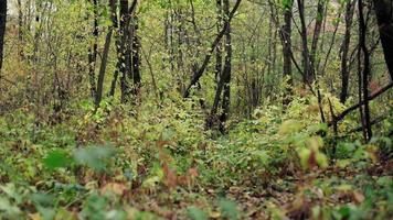 kleurrijk landschap van herfstbos met vallende bladeren in de wind video