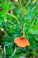 Eschscholzia naranja en la pradera closeup con fondo borroneada y Caterpillar foto