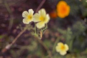Primer plano de eschscholzia blanco y naranja con fondo borroneada foto