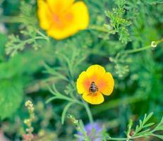 Eschscholzia naranja en la pradera closeup con fondo borroneado con una abeja foto