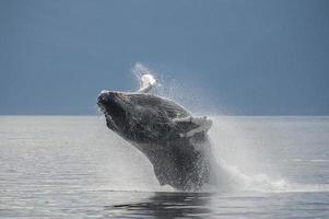 Breaching Humpback Whale, Frederick Sound, Alaska photo
