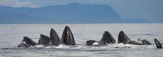 Alimentación de burbujas ballenas jorobadas, Alaska foto