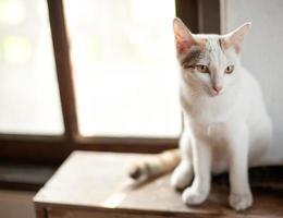 relajante sentado gato blanco, lindo gracioso foto