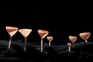 beautiful pink champagne mushroom in rain forest photo