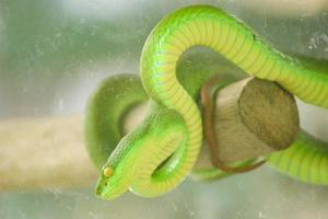 a snake named sea carcass, also commonly known as a green viper is a type of dangerous venomous snake. Has the scientific name Trimeresurus albolabris photo