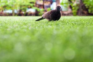 paloma camina sobre el césped de césped artificial foto