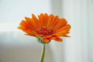 Flor de gerbera naranja sobre fondo blanco. foto
