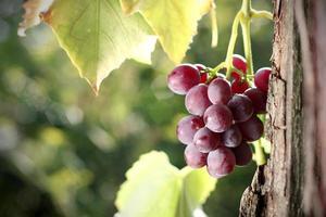 Grape cluster in vineyard photo