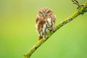 Ferruginous pygmy owl photo
