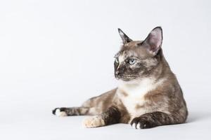 Portrait of beautiful grey cat on a white background. photo