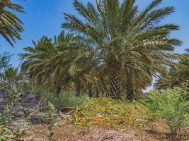 Cluster of dates on the ground in a plantation of date palms trees photo